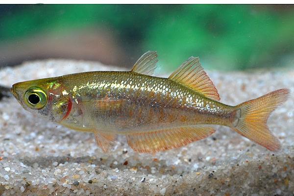 Glossolepis incisus - Lachsroter Regenbogenfisch 4