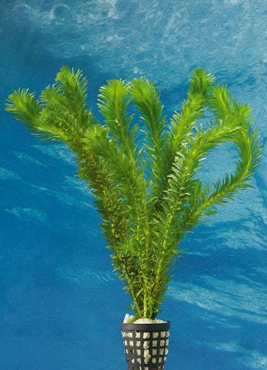 Egeria densa - Tropische Wasserpest 1