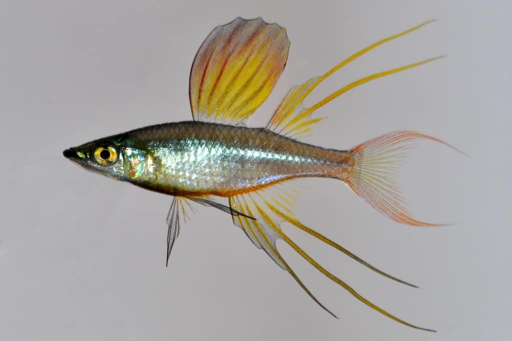 Iriatherina werneri - Werners Regenbogenfisch 1