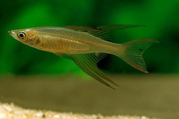 Iriatherina werneri - Werners Regenbogenfisch 3