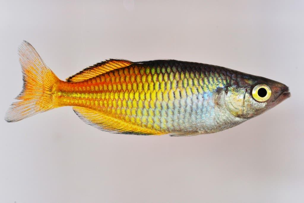 Melanotaenia boesemani - Bösemans Regenbogenfisch 1