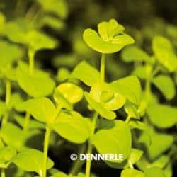 Lysimachia nummularia 'Aurea' - Gelbes Pfennigkraut 3