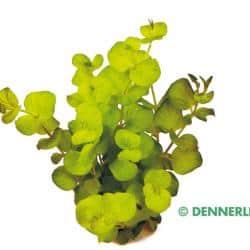 Lysimachia nummularia 'Aurea' - Gelbes Pfennigkraut 4