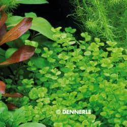 Micranthemum umbrosum - Perlenkraut 7