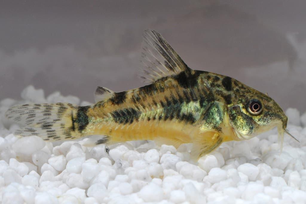 Corydoras paleatus - Marmorierter Panzerwels 1