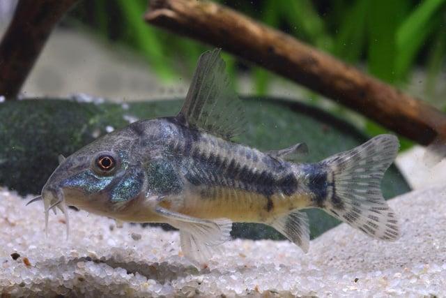 Interessante Aquarienbewohner - Welse 5