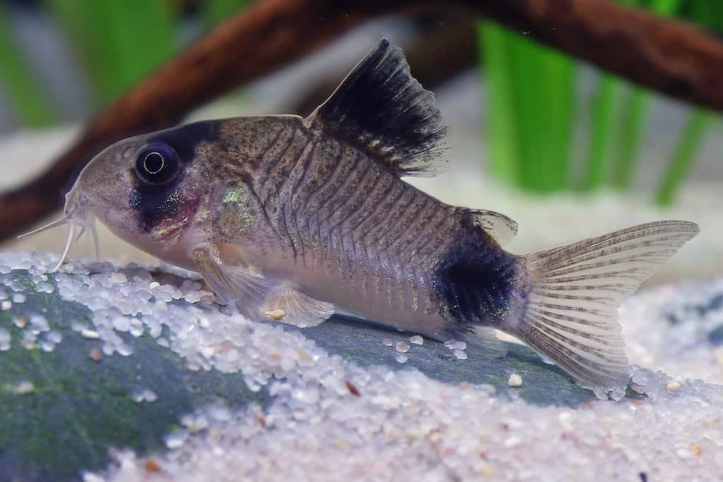 Interessante Aquarienbewohner - Welse 6