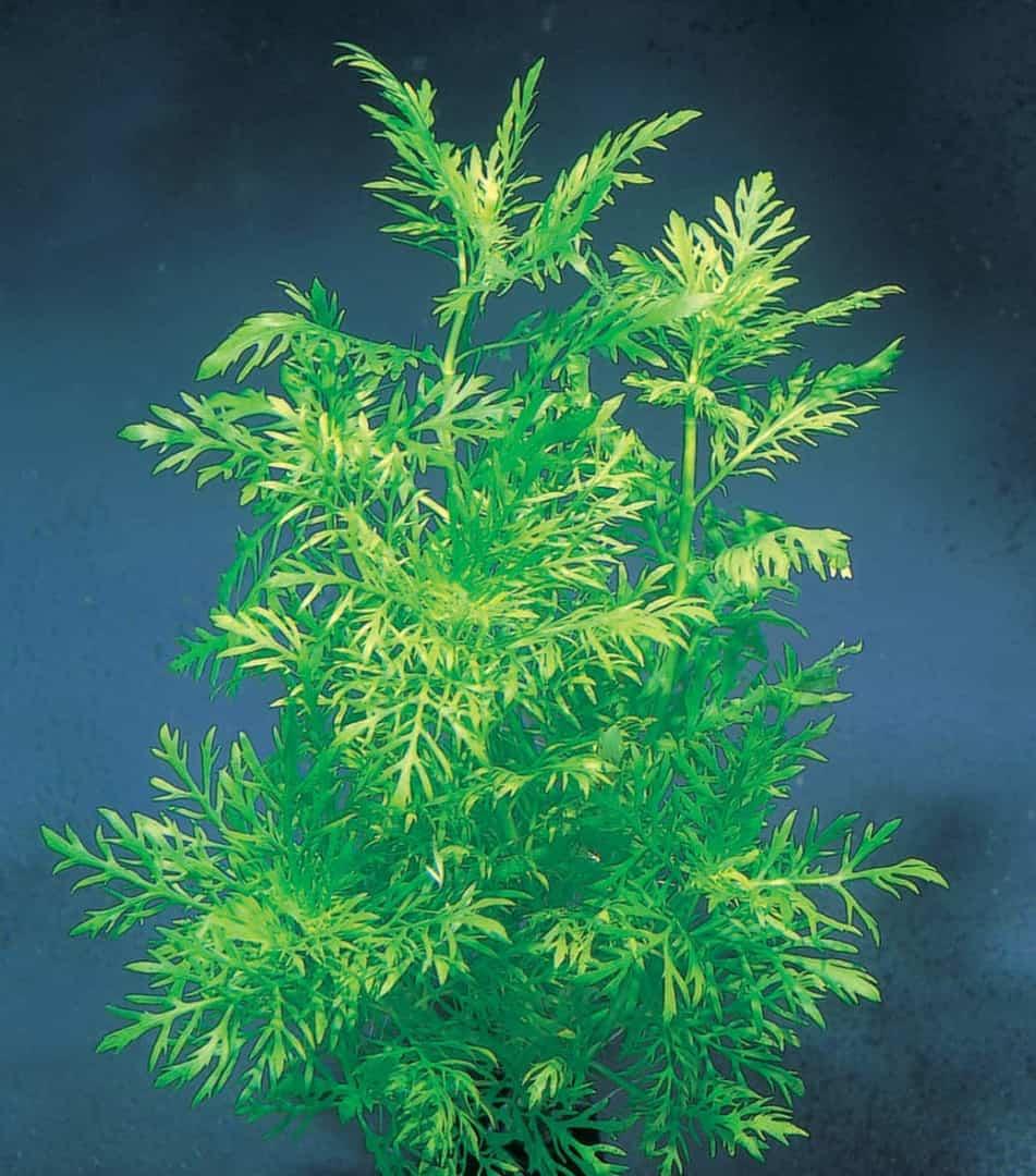 Hygrophila difformis - Indischer Wasserstern 2