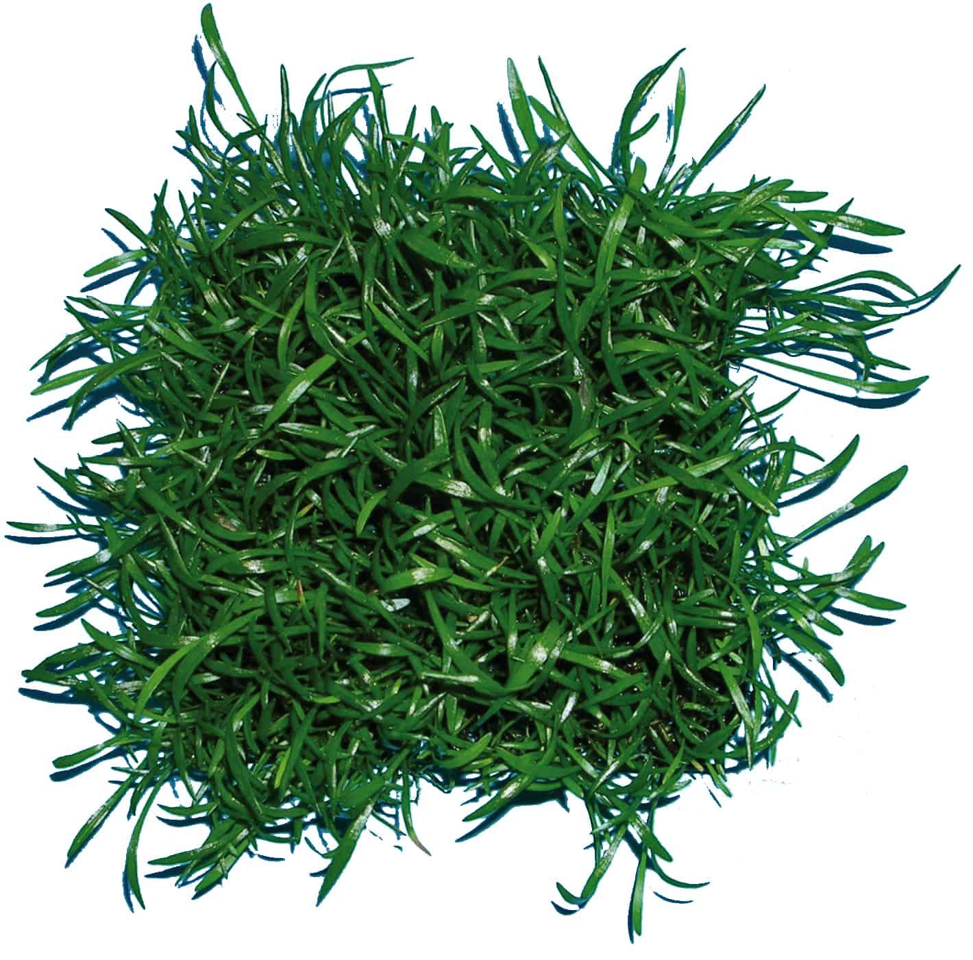 Lilaeopsis brasiliensis - Graspflanze 1
