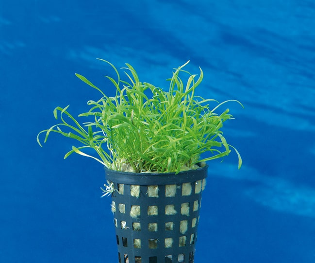 Lilaeopsis brasiliensis - Graspflanze 2