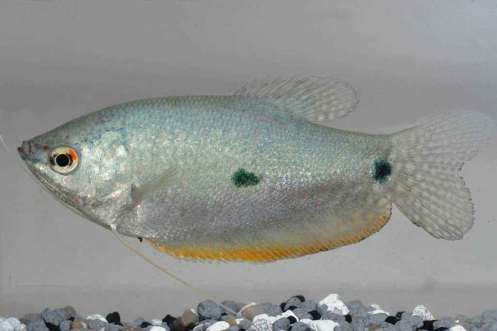 Trichopodus trichopterus - Blauer Fadenfisch 3