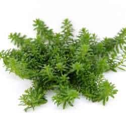 Mayaca fluviatilis - Grünes Mooskraut 3