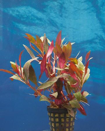 Ludwigia glandulosa - Rote Stern-Ludwigie 1