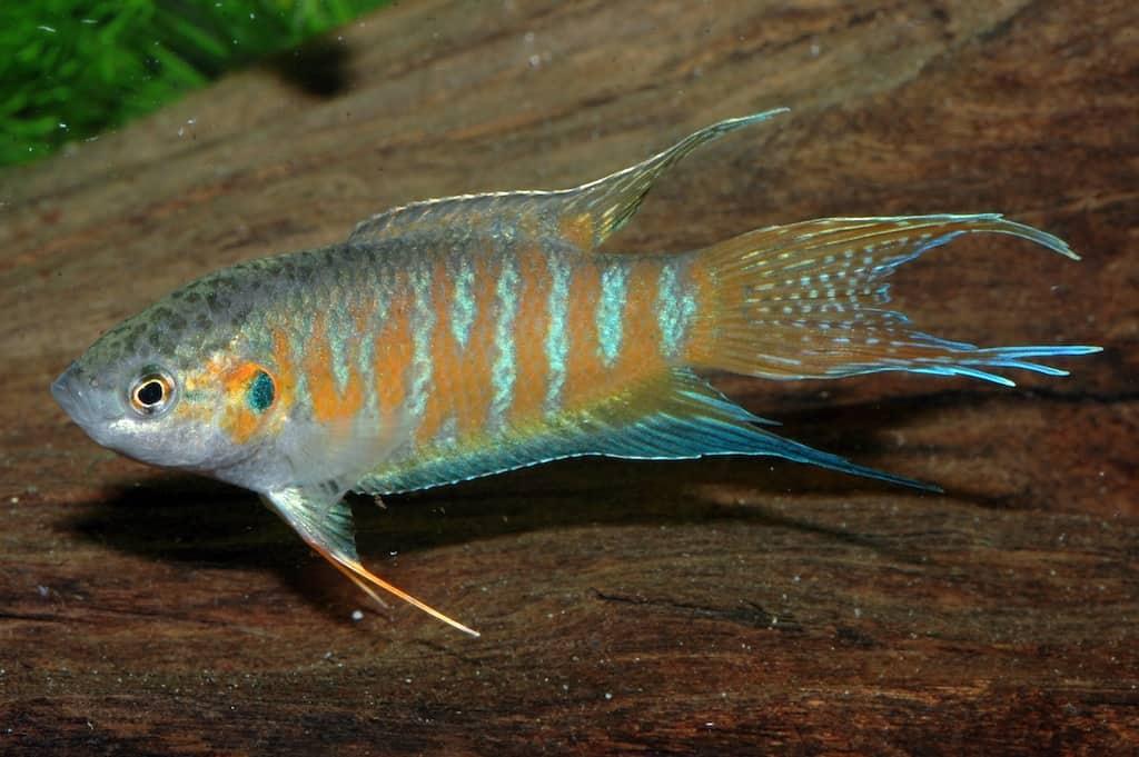 Makropodus opercularis - Paradiesfisch, Makropode 2