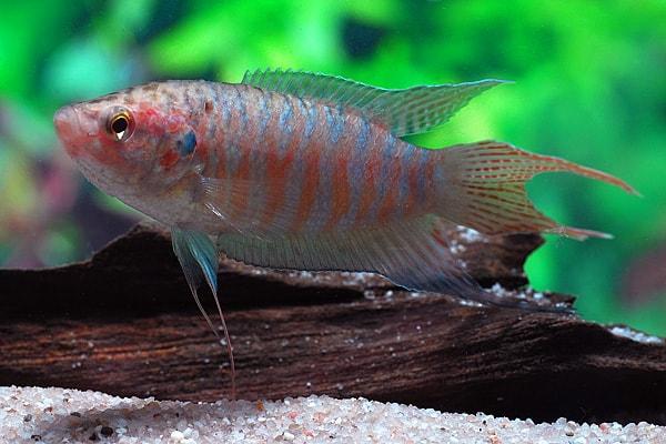 Interessante Aquarienbewohner - Labyrinthfische 5