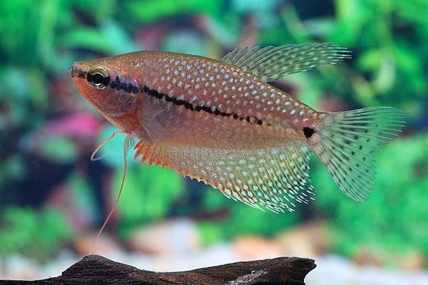 Interessante Aquarienbewohner - Labyrinthfische 3