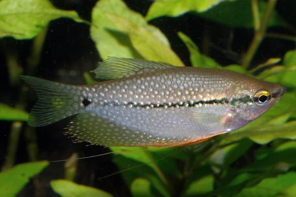 Trichogaster leeri - Mosaikfadenfisch 4