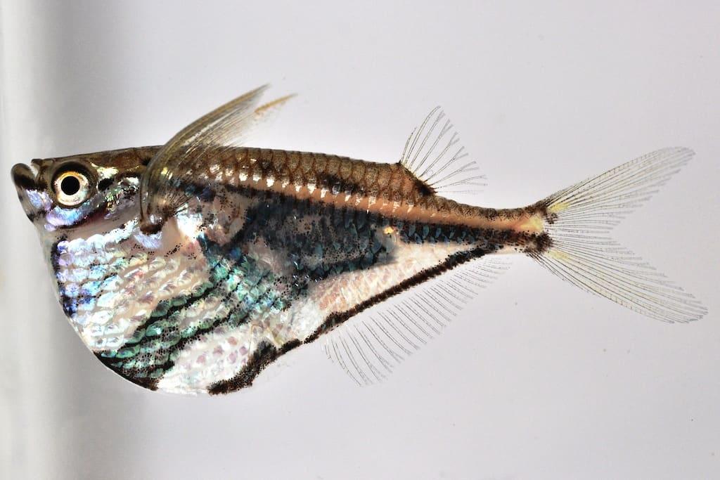 Carnegiella strigata - Marmorbeilbauch, Marmorierter Beilbauchfisch 1