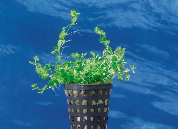 Micranthemum umbrosum - Perlenkraut 1