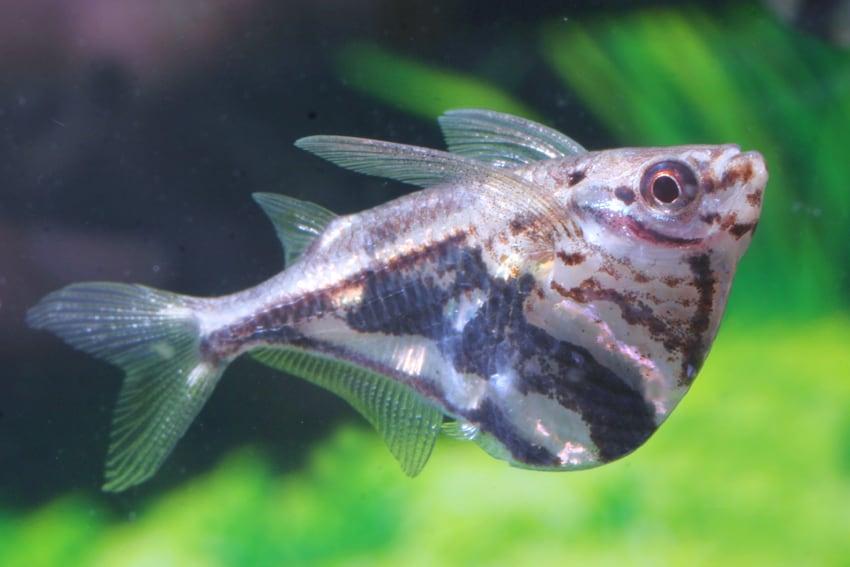 Carnegiella strigata - Marmorbeilbauch, Marmorierter Beilbauchfisch 3