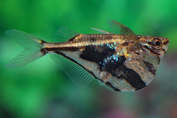 Carnegiella strigata - Marmorbeilbauch, Marmorierter Beilbauchfisch 4