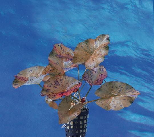 Nymphaea lotus var. rubra - Roter Tigerlotus 1