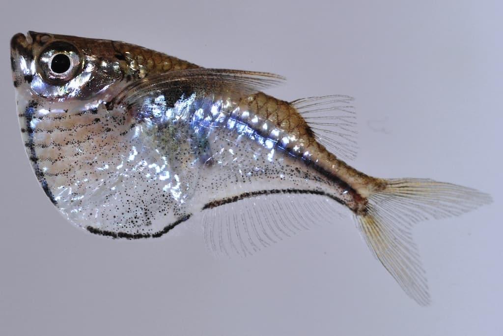 Gasteropelecus sternicla - Silberbeilbauch 1