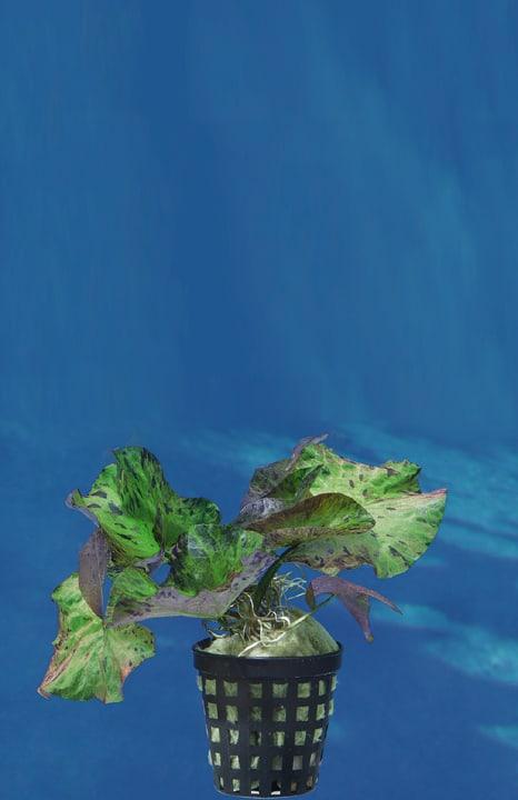 Nymphaea lotus var. rubra - Roter Tigerlotus 2
