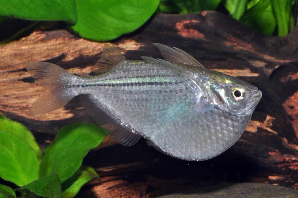Gasteropelecus sternicla - Silberbeilbauch 2