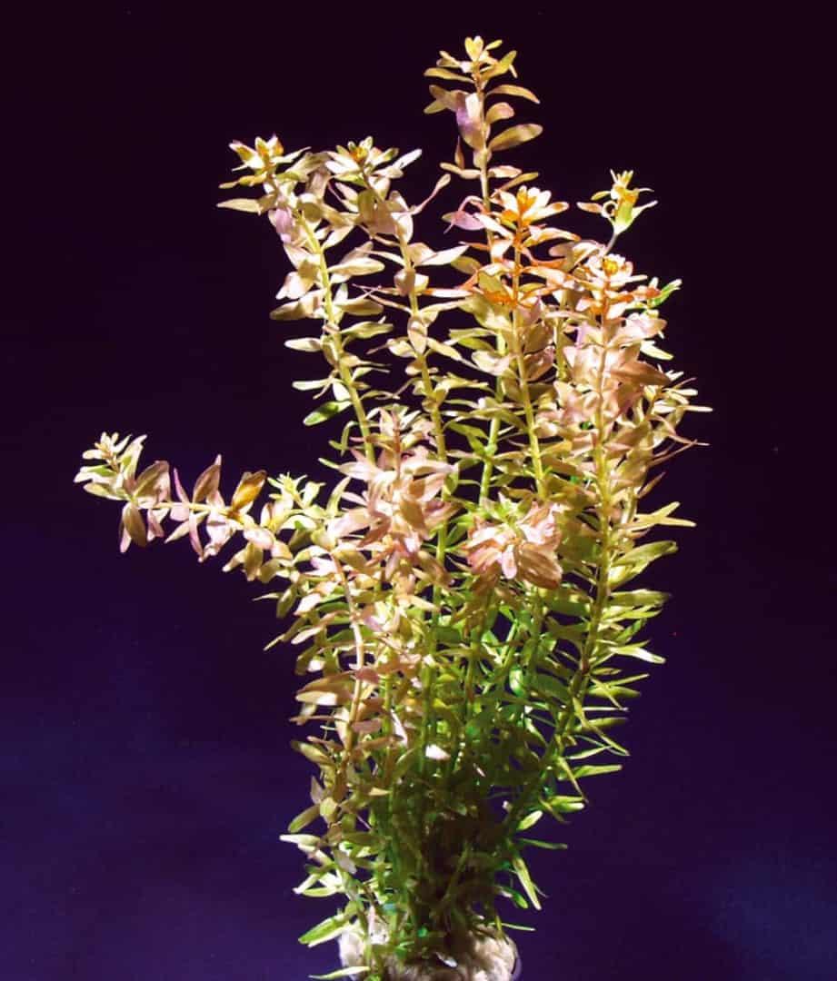 Rotala rotundifolia - Kleine Rotala 4