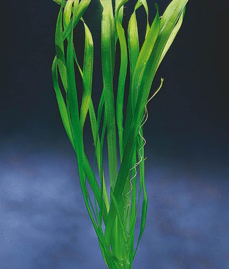 Vallisneria gigantea - Riesen-Vallisnerie 2
