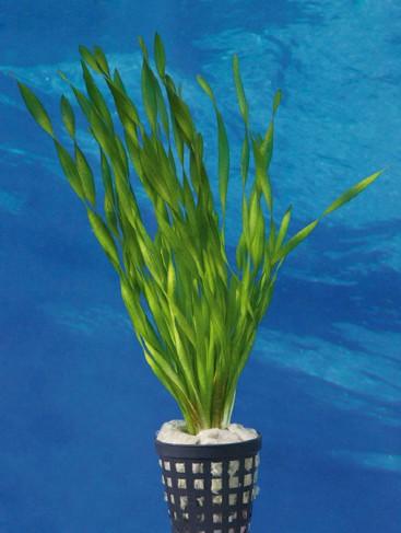 Vallisneria tortifolia - Kleine Schrauben-Vallisnerie 1