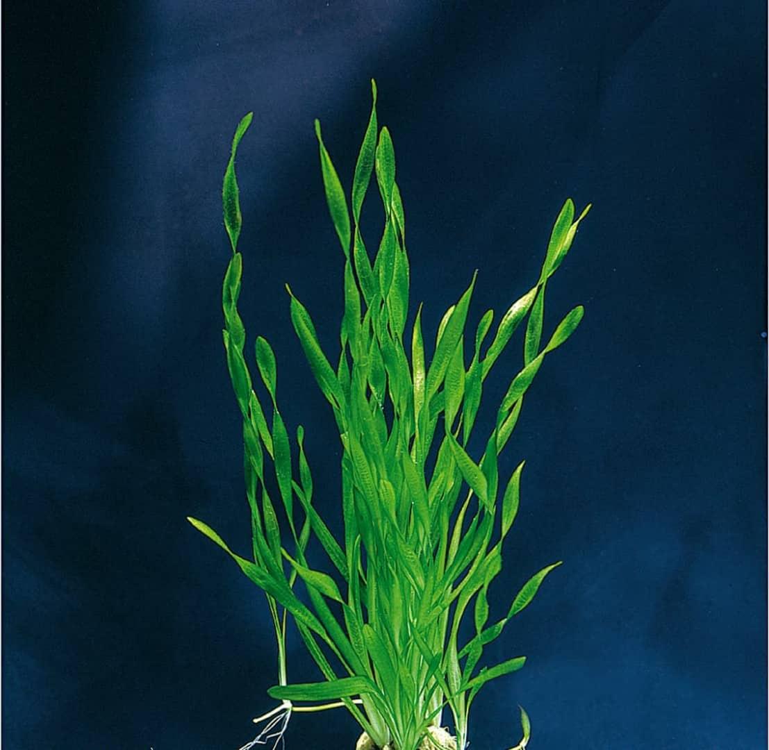Vallisneria tortifolia - Kleine Schrauben-Vallisnerie 2