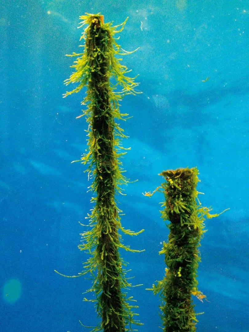 Vesicularia dubyana - Javamoos 3