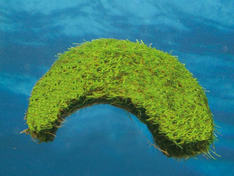 Vesicularia dubyana - Javamoos 4