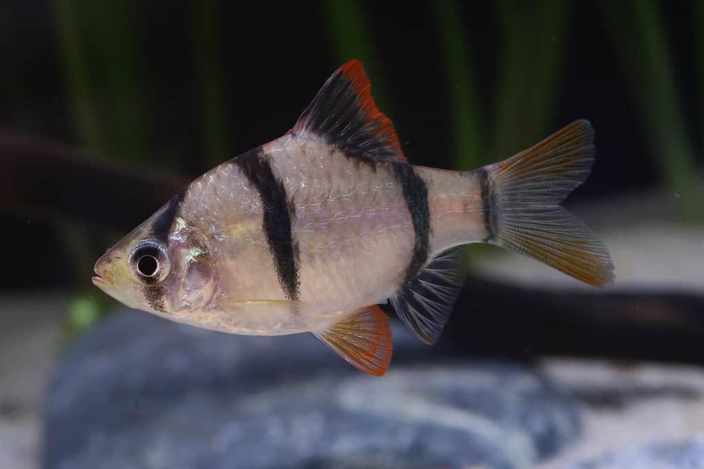 Puntigrus tetrazona - Sumatrabarbe 2