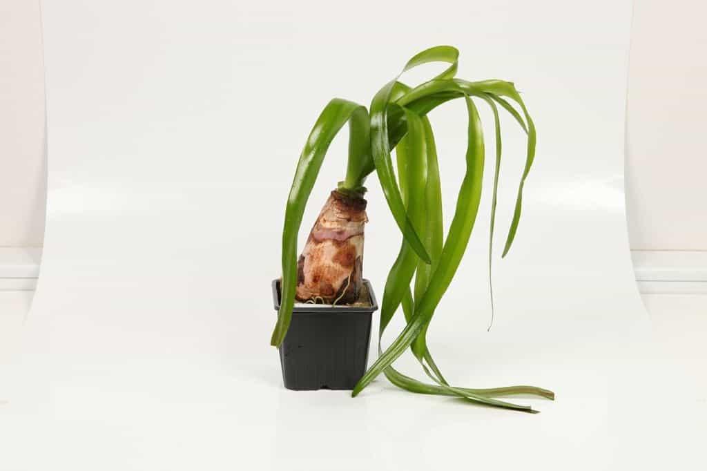 Crinum thaianum - Thailand-Wasserlilie 3