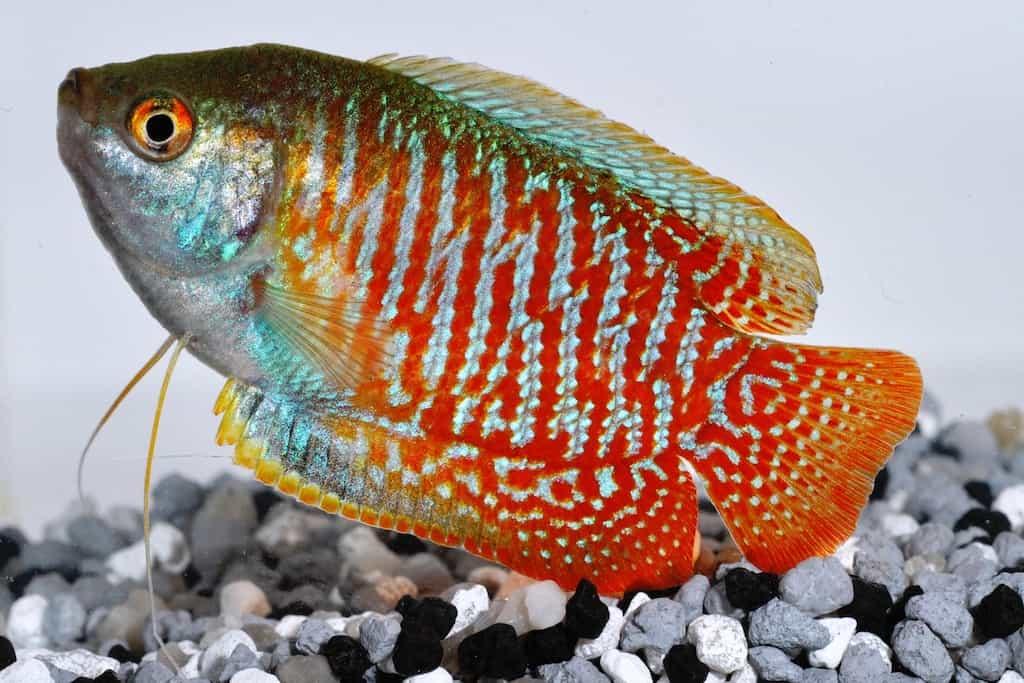 Colisa lalia - Zwergfadenfisch 1