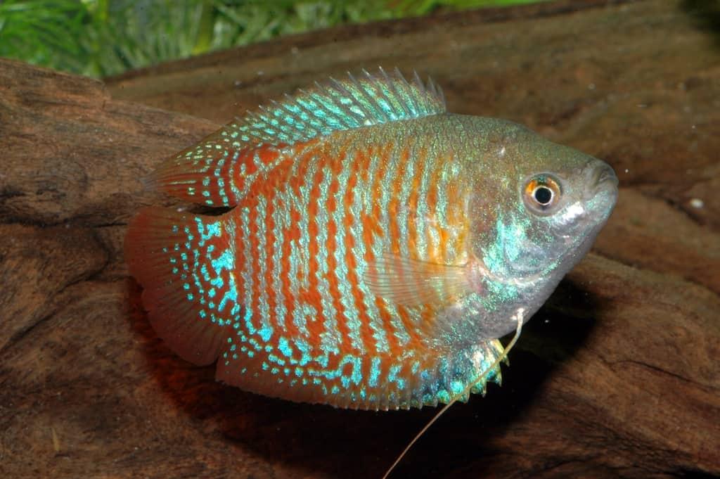 Colisa lalia - Zwergfadenfisch 9