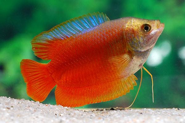 Colisa lalia - Zwergfadenfisch 2