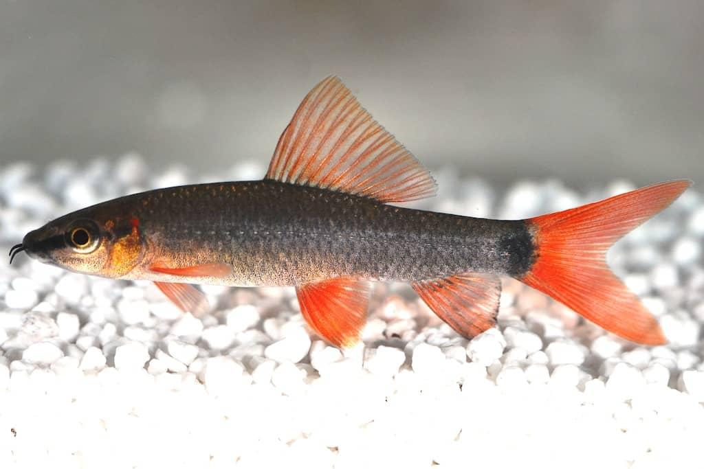 Epalzeorhynchus frenatus - Grüner Fransenlipper 1