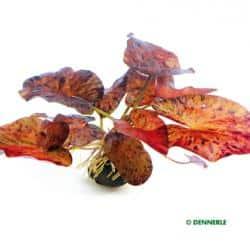 Nymphaea lotus var. rubra - Roter Tigerlotus 4
