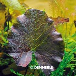 Nymphaea lotus var. rubra - Roter Tigerlotus 5