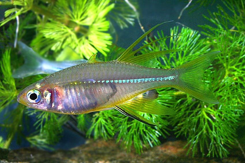Marosatherina ladigesi celebes sonnenstrahlfisch my fish for Robuste zierfische