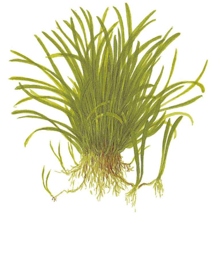 Lilaeopsis brasiliensis - Graspflanze 7