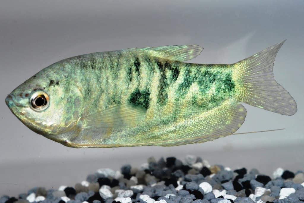 Trichopodus trichopterus - Blauer Fadenfisch 1