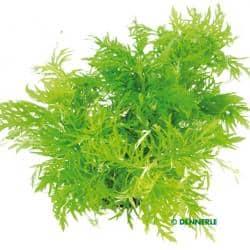 Hygrophila difformis - Indischer Wasserstern 6
