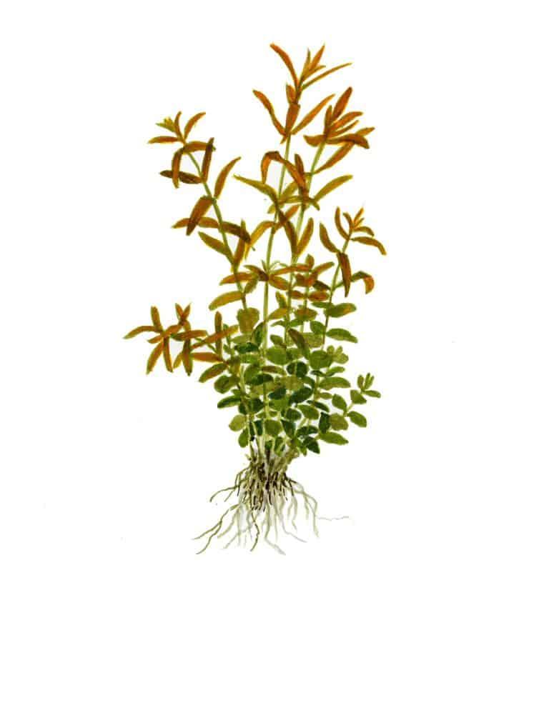 Rotala rotundifolia - Kleine Rotala 7