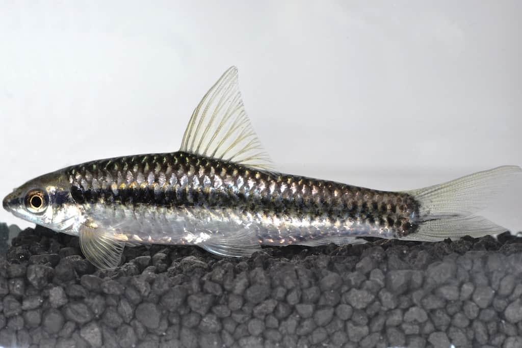 crossocheilus oblongus siamesische r sselbarbe my fish. Black Bedroom Furniture Sets. Home Design Ideas