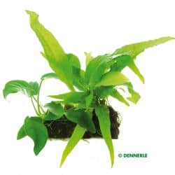 Vesicularia dubyana - Javamoos 9